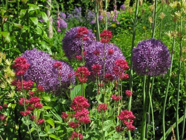 Spornblume - Centranthus ruber ´Coccineus`